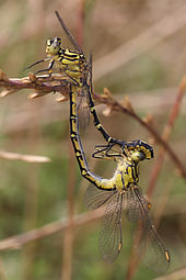 Yellow_striped_hunter_mating